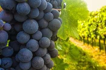 Anduze Gard vineyard picture 4808817