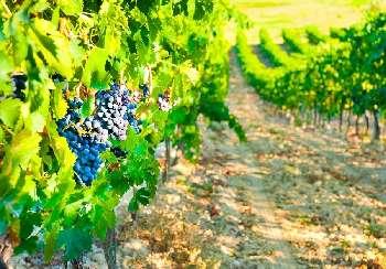 Limoux Aude vineyard picture 4807060
